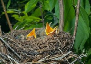 Nest of thrush 12