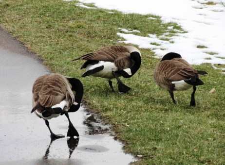 Geese one 03-19-17