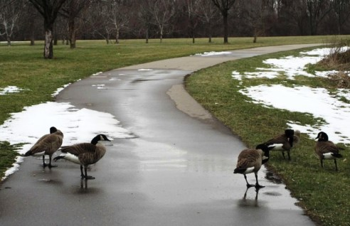 Geese two 03-19-17