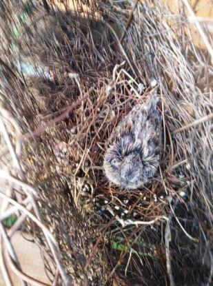 04-25-17baby dove