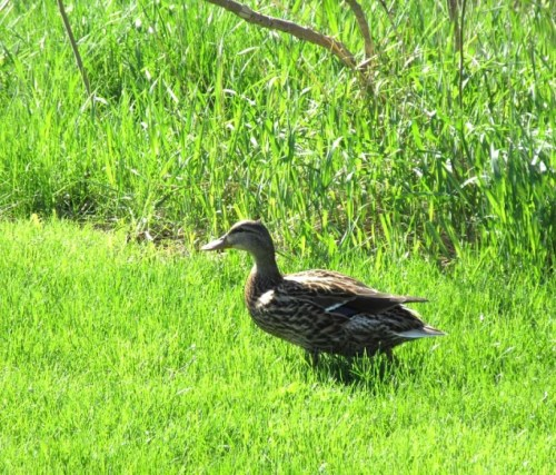 female duck b