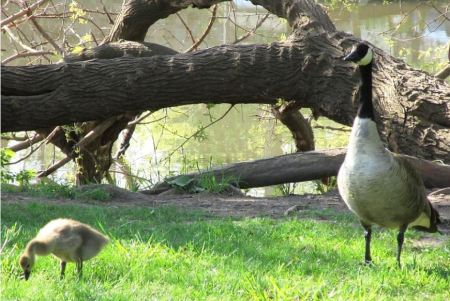 Goose mom and baby