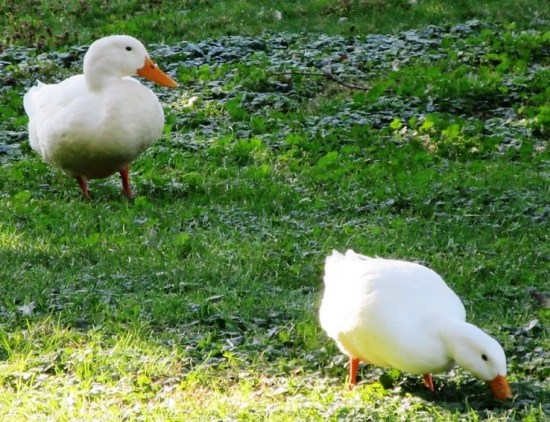 C-pair of white ducks