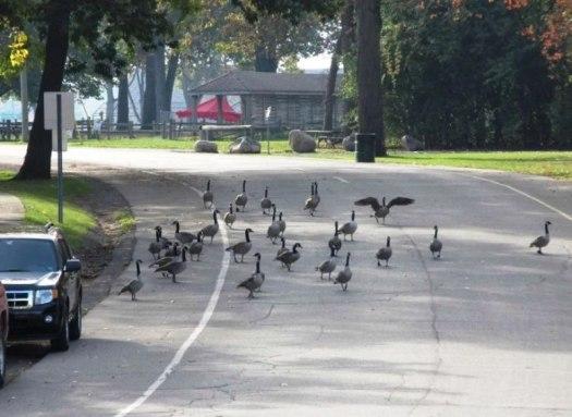 geese in road