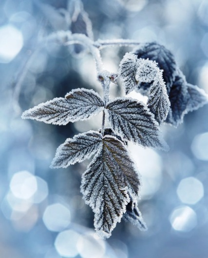 a frozen leaf and bokeh