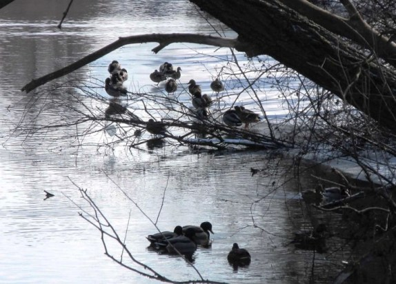 ducks in water2.jpg