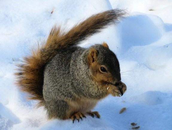 squirrel in snow1