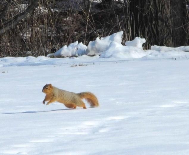 squirrel running