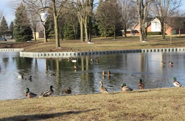 all ducks at pond