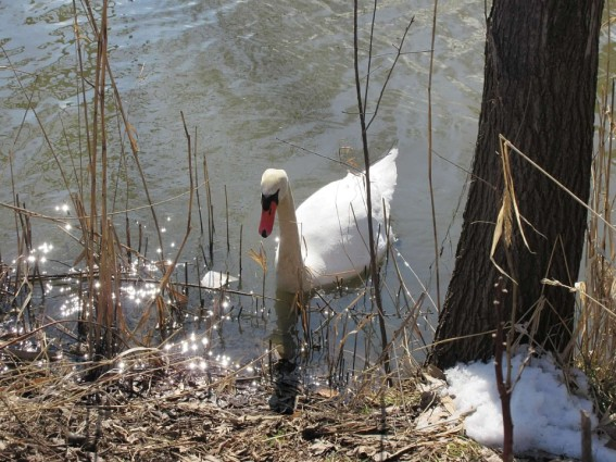big swan at creek bank.jpg