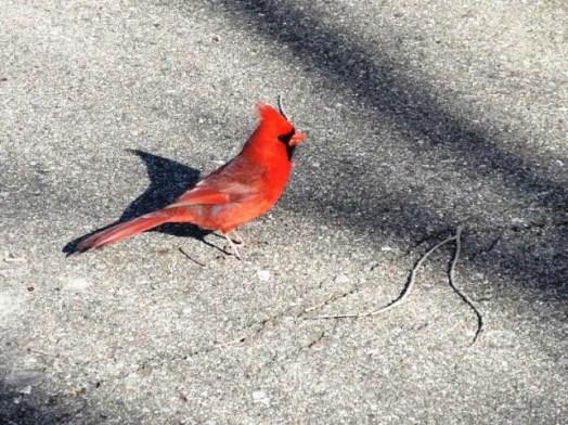 cardinal0.jpg