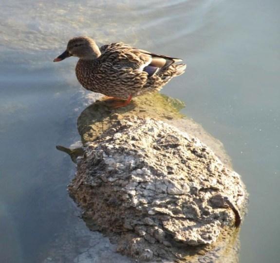 duck up high.jpg