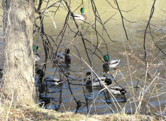ducks in middle.jpg