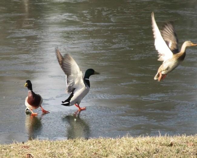 ducks on the ice.jpg