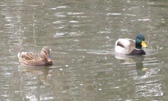 ducky4.jpg