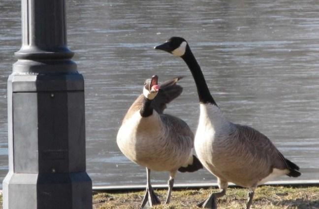 geese mad B.jpg