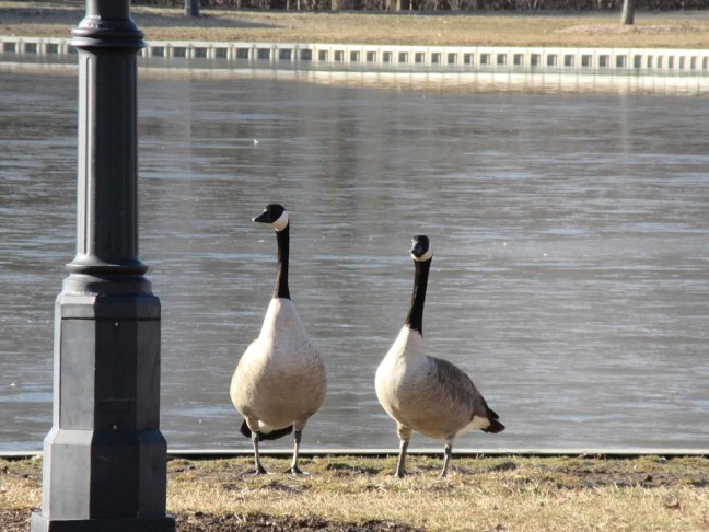 geese strolling2