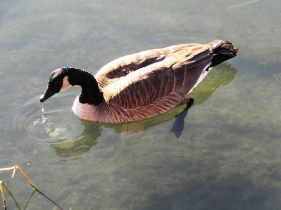goose webbed feet