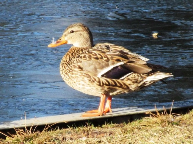 mrs duck with nose.jpg