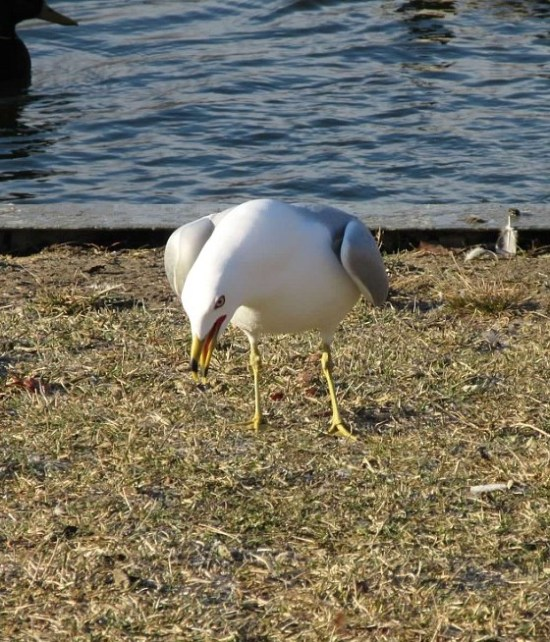 one seagull laughing.jpg