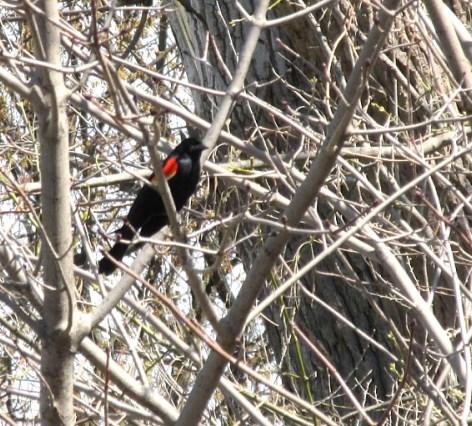 red-winged blackbird in tree.jpg