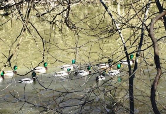 right ducks