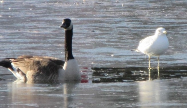 seagull and goose.jpg