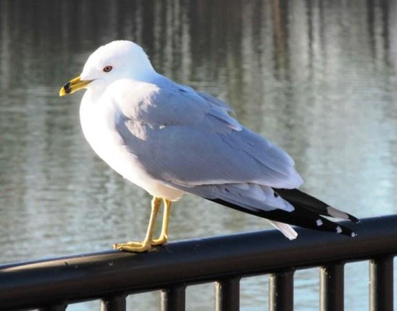 seagull coy