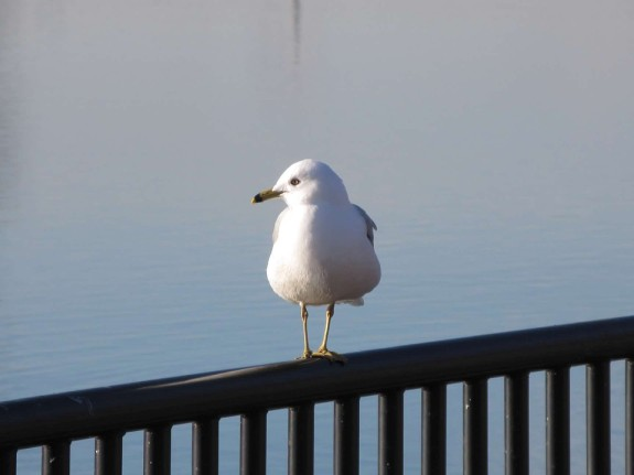 seagull on the railing