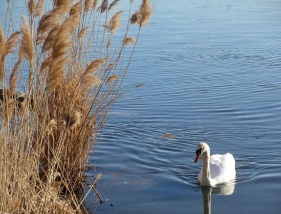 swan by swamp reeds.jpg
