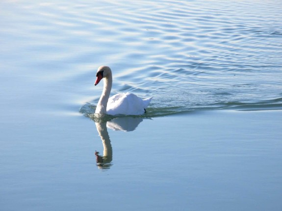swan steaming ahead