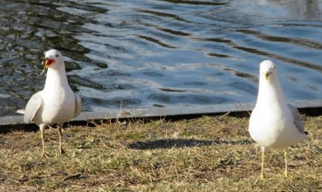 two seagulls laughing.jpg