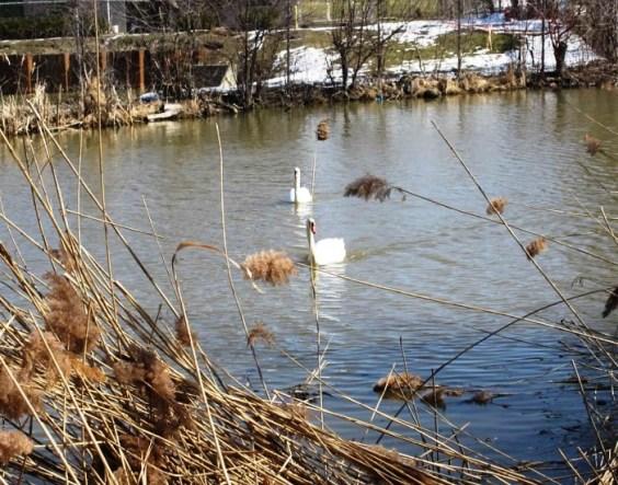 two swans far
