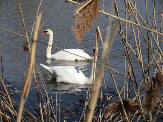 two swans semi