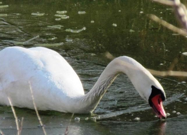 using beak to break ice
