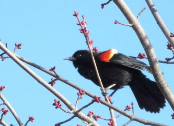 BLACKBIRD COLOR