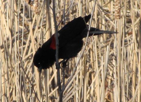 BLACKBIRD MONO.jpg