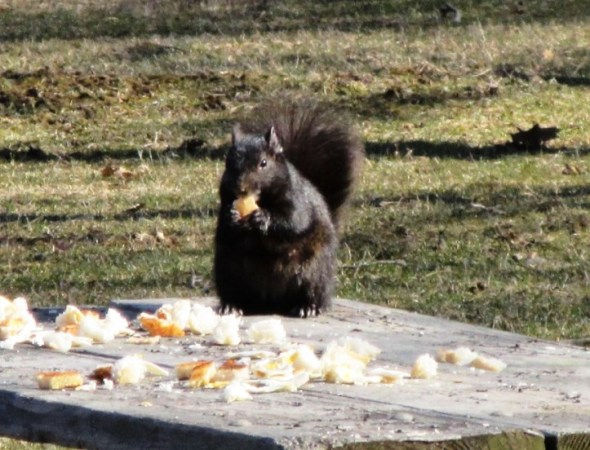 BREAD SQUIRREL