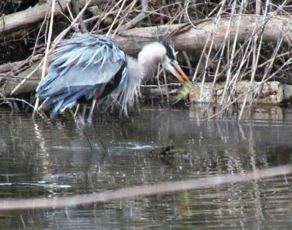 HERON CATCHING FISH.jpg