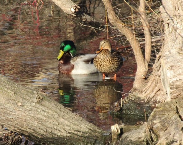 MALLARDS PAIR IN PARK