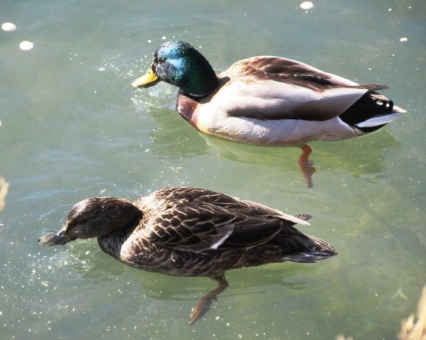 PAIR OF DUCKS EATING CRACKERS