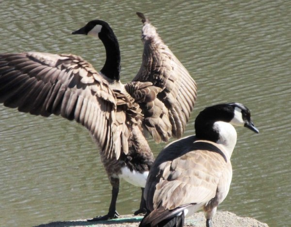 PAIR OF GEESE ON CEMENT LANDING FLAPPING.jpg