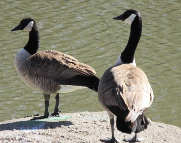 PAIR OF GEESE ON CEMENT LANDING.jpg