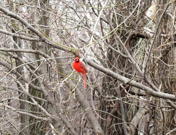 Cardinal in Winter time