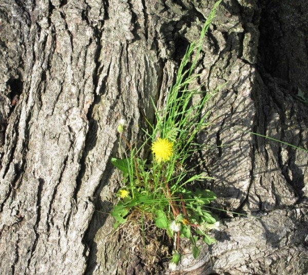 DANDELION IN TREE