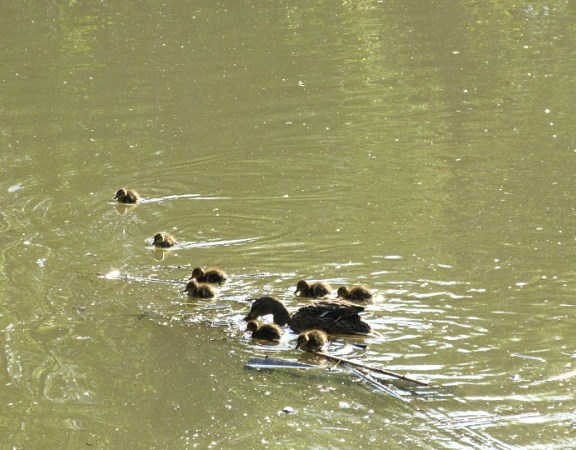 DUCKLING SWIMMING LESSONS