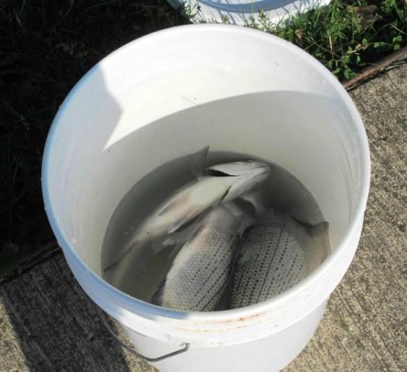 fish bucket.jpg