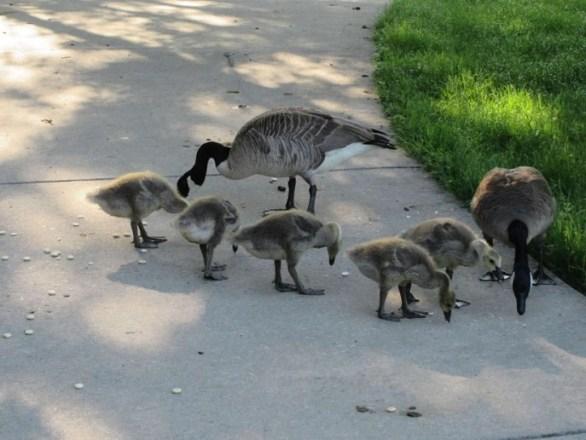 geese before attitude.jpg