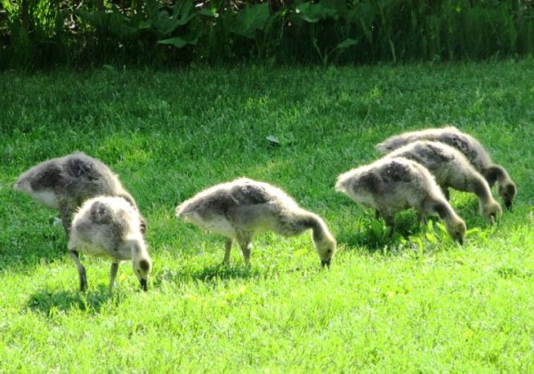 GOSLINGS EATING GRASS.jpg