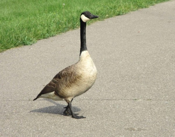 HEADER-GOOSE CROSSING THE ROAD.jpg